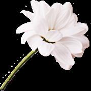 Imagen Flor Blanca